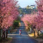 Đà Lat- Hoa Mai anh đào đang mùa đẹp nhất